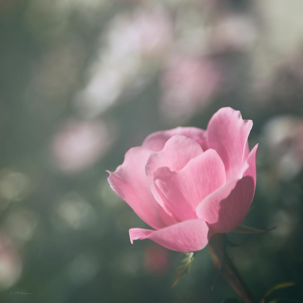 Pink Rose Fade