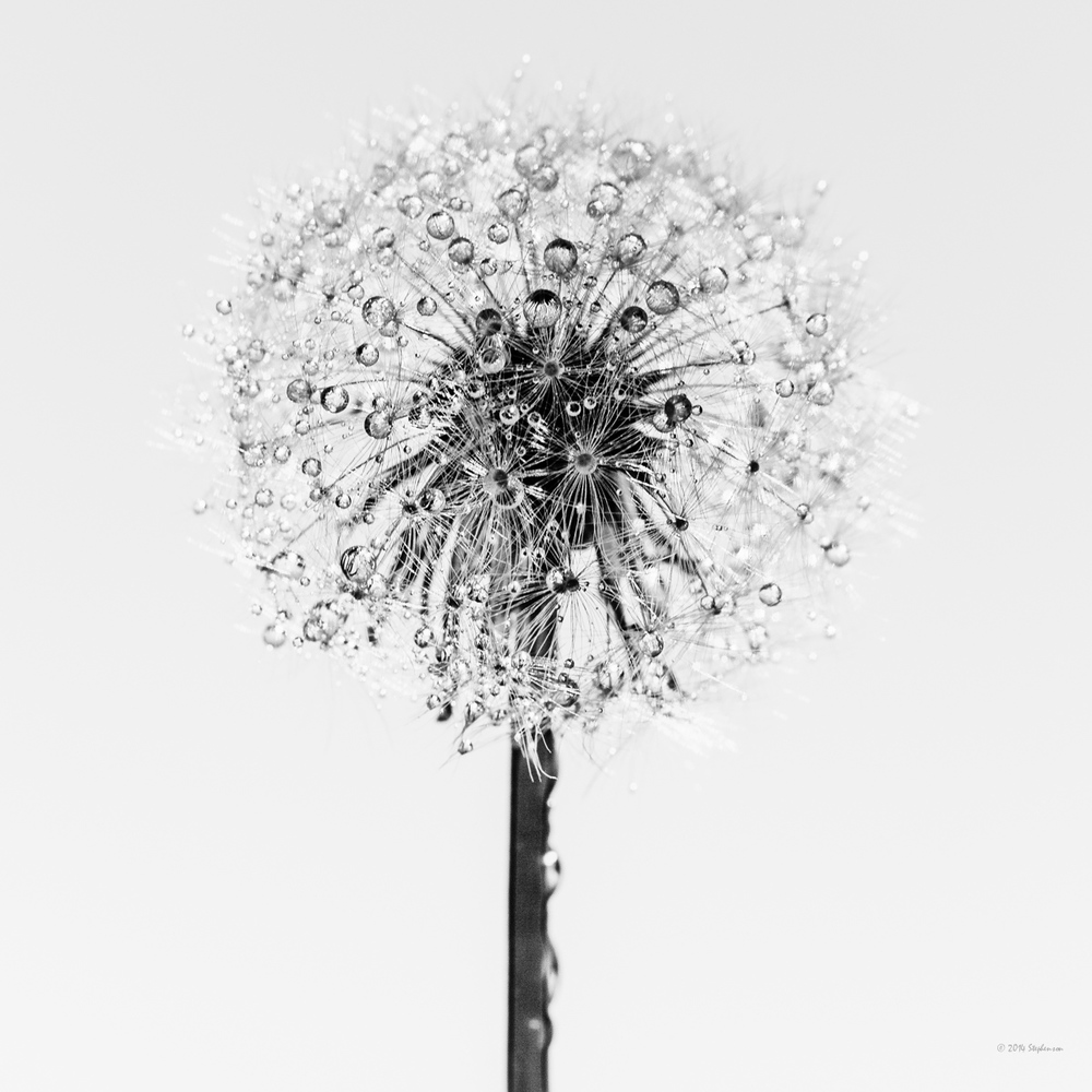 Dandelion  Simplicity 2.jpg