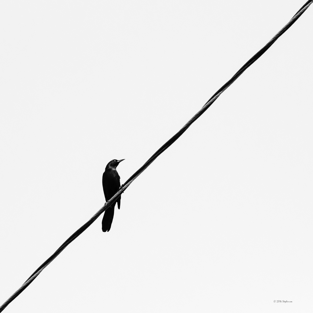 Blackbird on a Wire