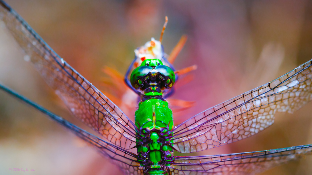 Dreamy Green Dragonfly.jpg