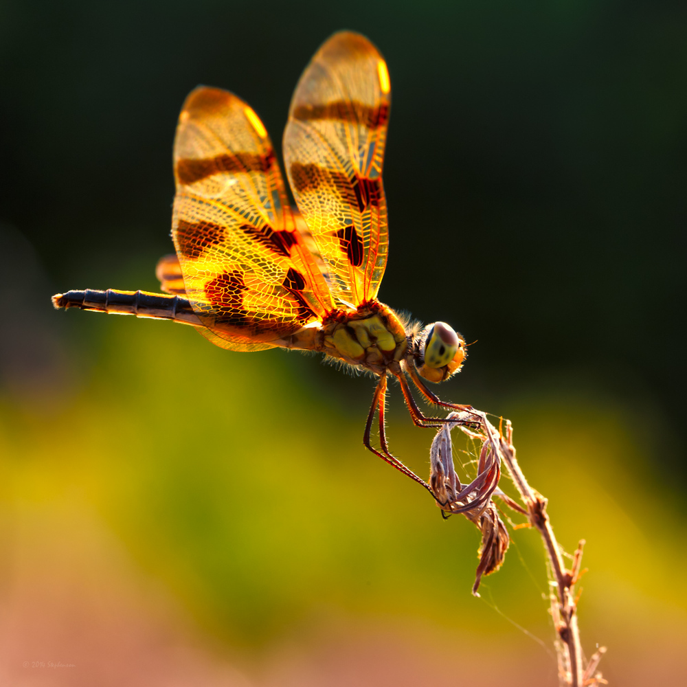 Tiger Striped Dragonfly 2.jpg