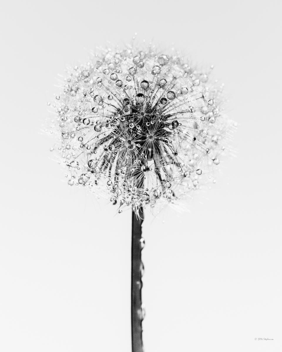 Dandelion  Simplicity.jpg