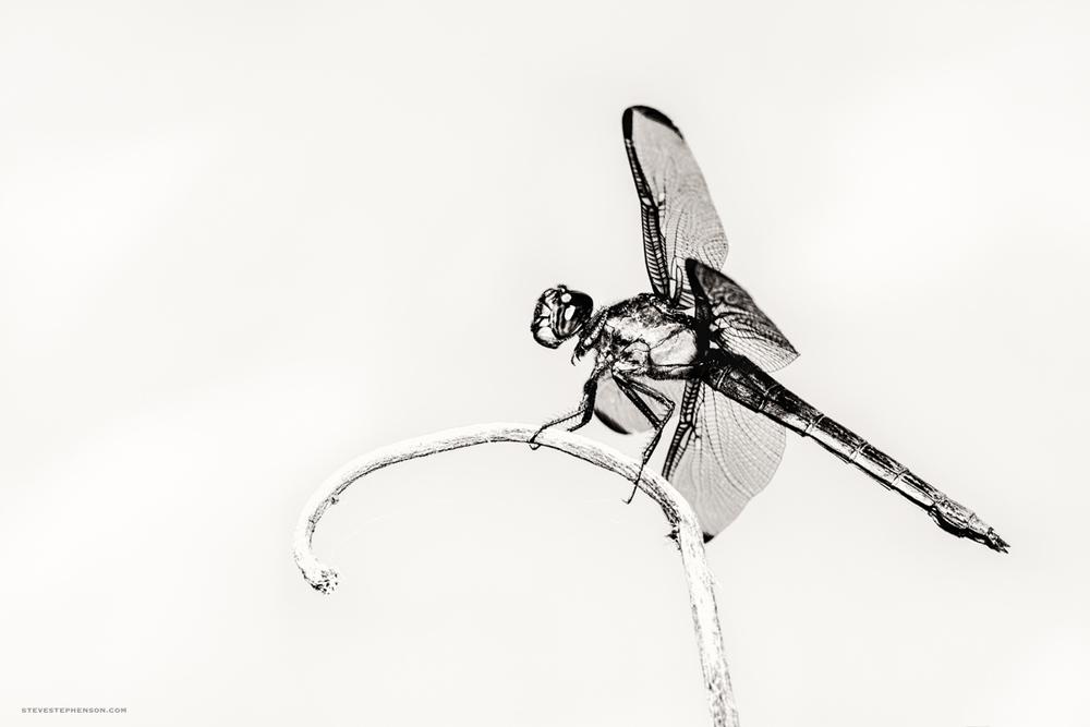 Hi Key Dagonfly