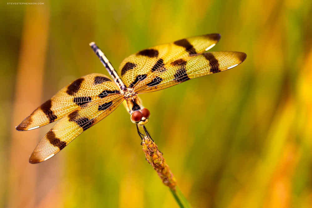 Tiger Striped Dragonfly