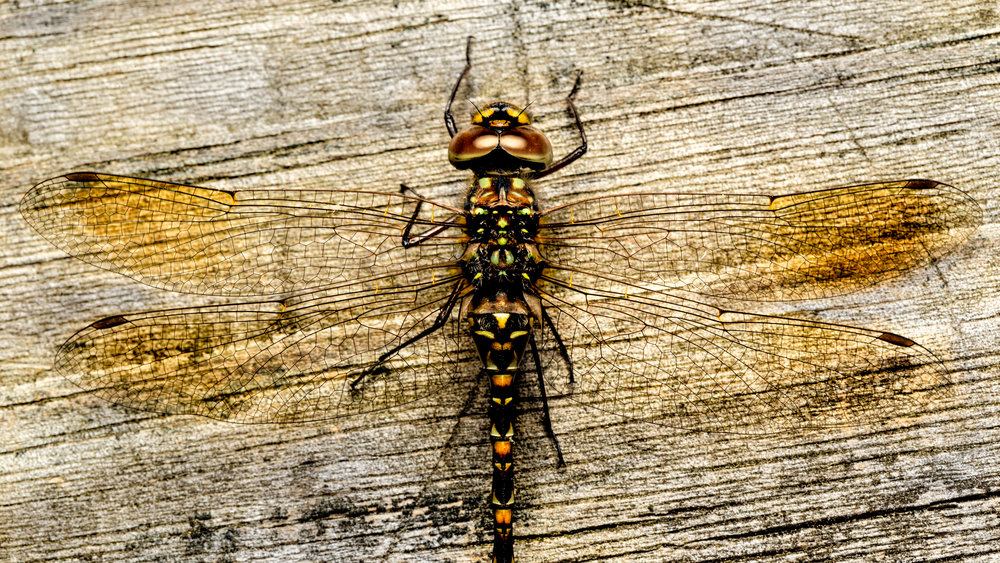 Red and Gold Dragonfly -2.jpg