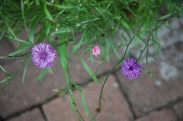 The cornflowers are blossoming in the backyard.