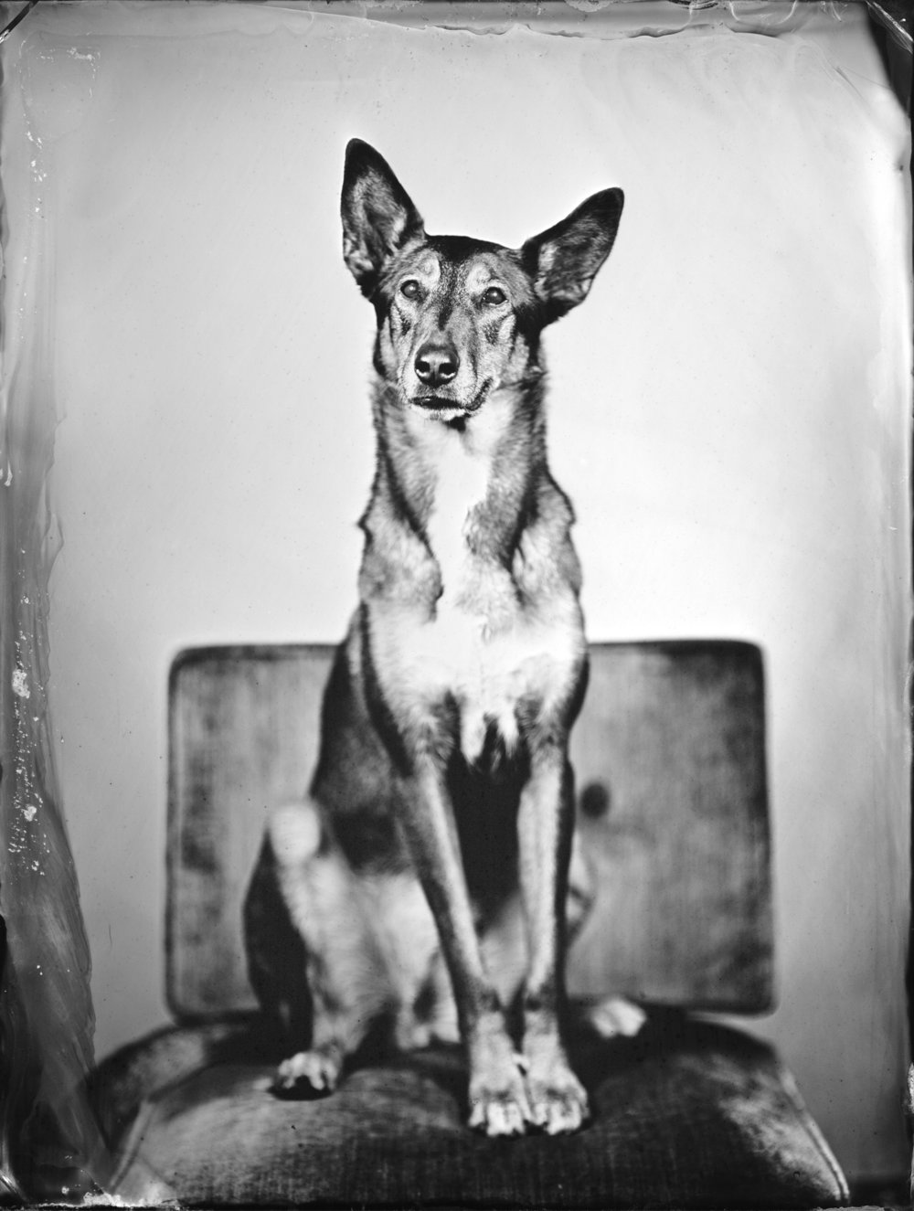Medium-*$69, Large-$89 for 1 Pet Tintype -