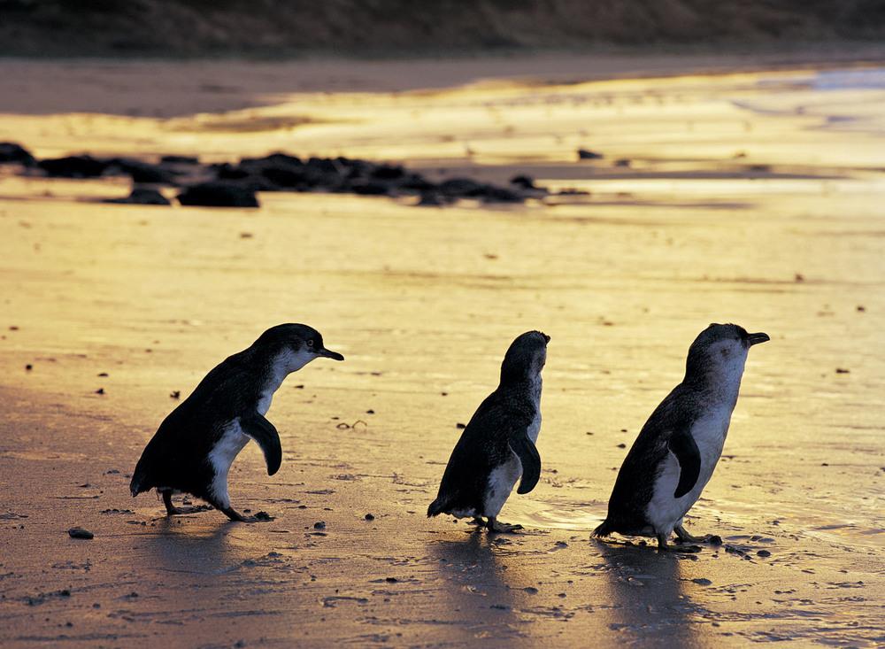 Three penguins - landscape.jpg