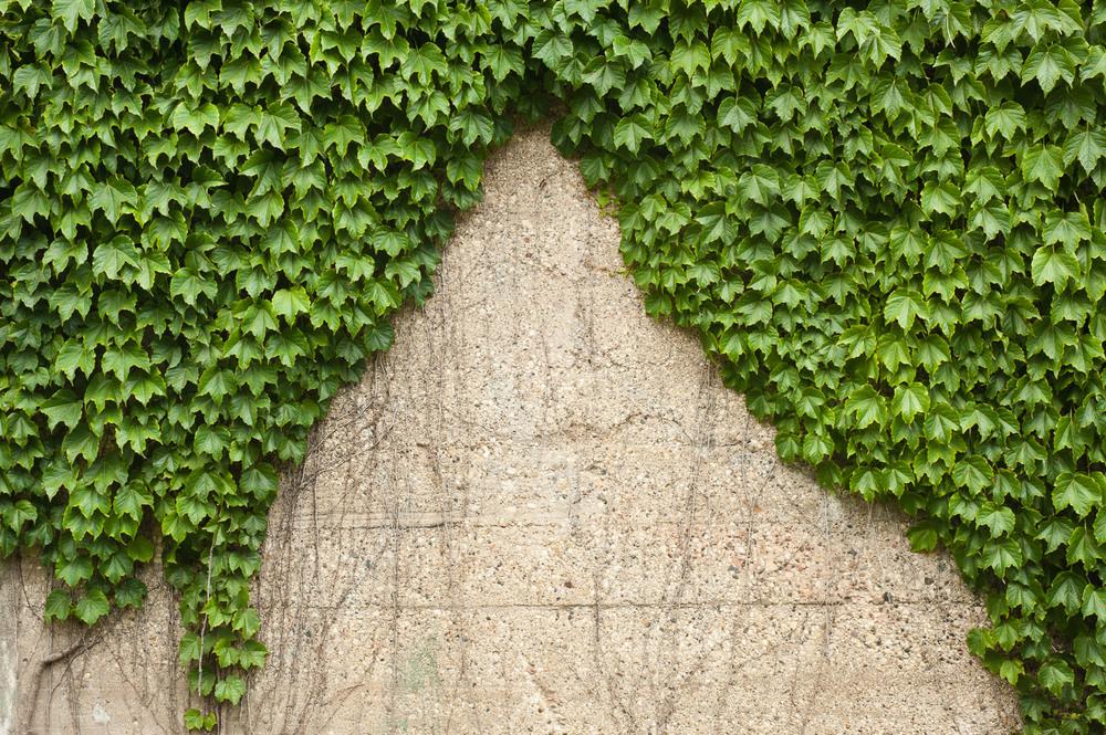 Curtain Vine