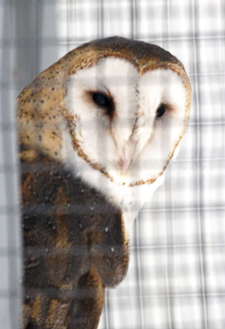 This Barn Owl was born in captivity.  She was raised as an educational bird and brought to Horizon Wings when the non-profit portion of her facility was closed.