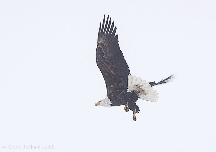 This is the Bald Eagle flying on the first day.