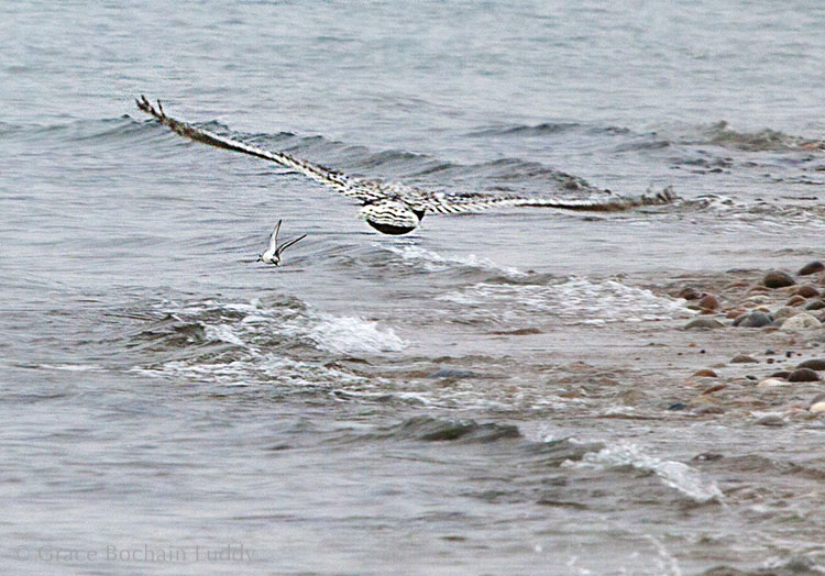 The snowy owl flying away.  I think that little bird in front of her must have been glad the snowy had better things to do than have a snack.
