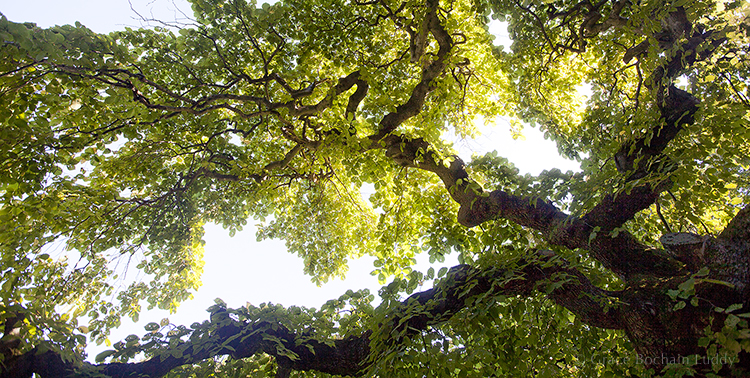 A great old tree in Halifax, Nova Scotia, taken in August last summer.  Abundant and green in the full glory of summer.  Something to look forward to.
