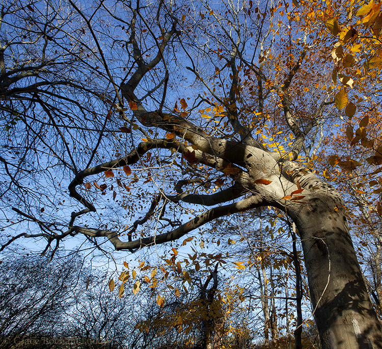 This picture was taken last November.  Oakland Forest is an old growth forest of American Beech Trees in Middletown, RI.   I went to visit when my brother Nick and I went to Newport for this 60th birthday. The forest was purchased and preserved in 2000.  It's small and kind of scrubbly actually, but it's the only old growth forest in Rhode Island.  People worked very hard to save it.  Some of the trees are 300 years old.