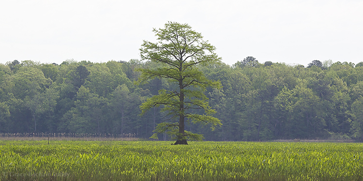 Tree growing in the marshes of the James River, near Williamsburg, VA.  Taken a few years ago when I was visiting my brother George and his family.   Very big and stately and Virginian.