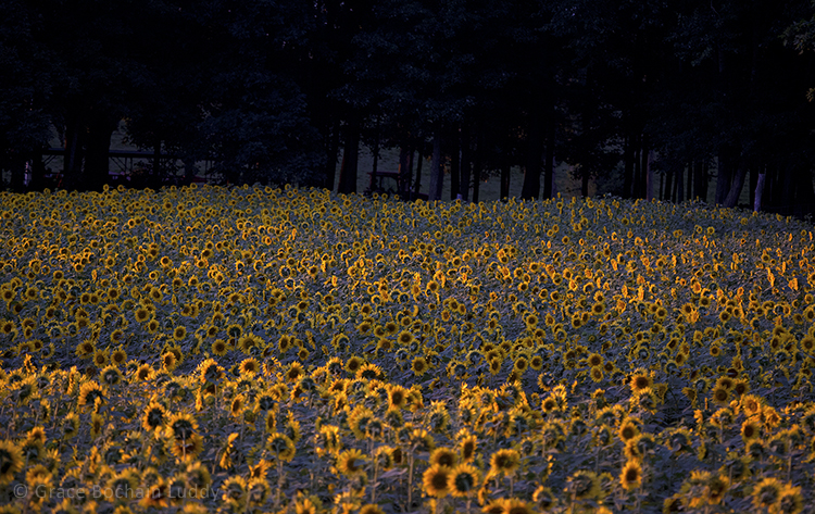 Here are sunflowers in the few moments before the last light.