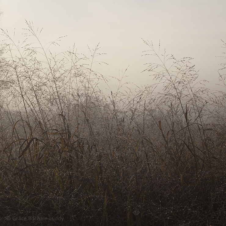 Dawning light in fog through the grasses.