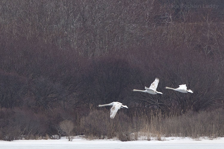 It took several shots because the swans were all jumbled together, but here they finally separated.