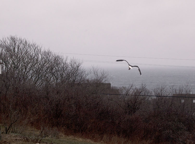 I can't say this is the best picture I have ever taken, but I was very happy to take it.  That's our gull, flying away this morning at about 7 o'clock.