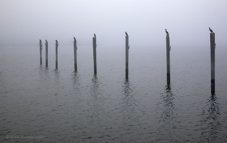 Well, if life gives you fog, you can make foggy pictures.  I liked how the cormorants lined up in formation.  They only did so, west of the Boat Basin dock where I was standing.  There were none on the corresponding piers on the east side of the dock.  That soft grey smudge on the horizon is Champlin's Marina.  These piers will anchor the floating docks that I'm sure are going in any day now, and soon they'll be a few more boats, oh, like a hundred more boats in this marina.  That is, if the fog lets up.