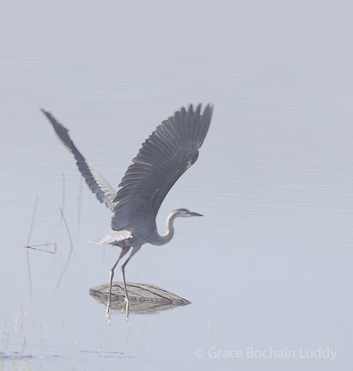 I went all the way to Nova Scotia and do you know what I found there? Blue Heron.