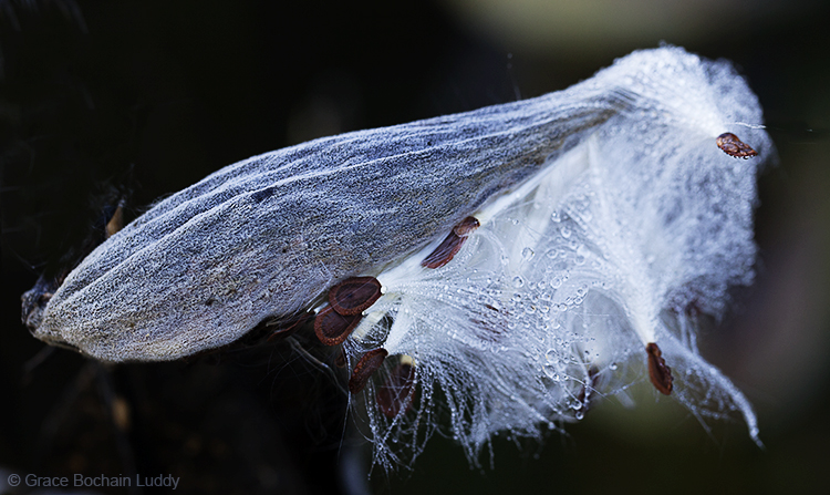This is a milk weed pod at the fish hatchery.
