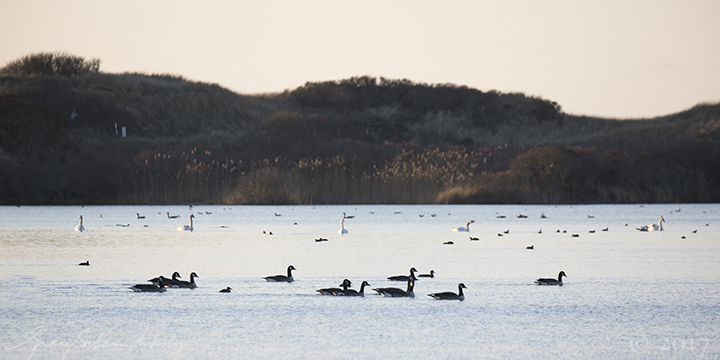 All the different kinds of waterfowl, hanging out, acting like one species.  See how the swans are evenly spaced, like they're playing defense?  Seals do that too.