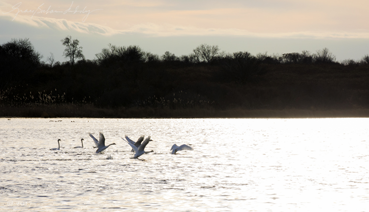 Swans in the evening on Sacchem Pond.