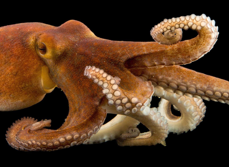 Картинка про осьминога