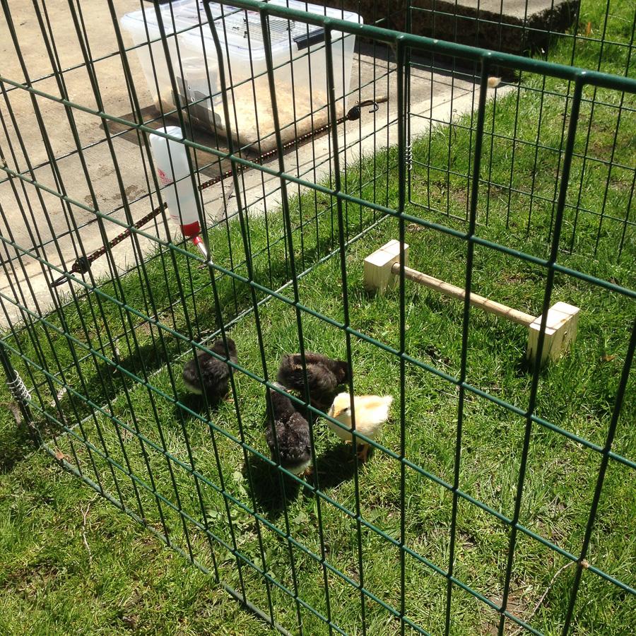 Chicks-16.jpg