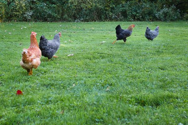 chickens-03.jpg