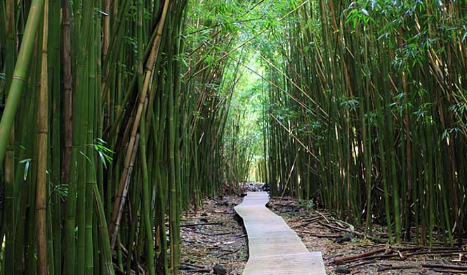 Road to Hana - Bamboo Forest, Maui, Hawaii