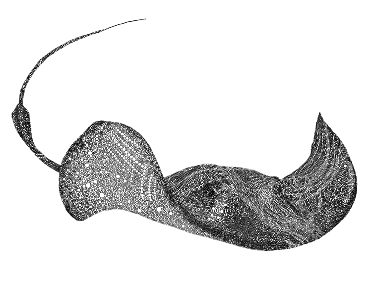 "Stingray / pen on paper / 17"" x 14"" / 2011"