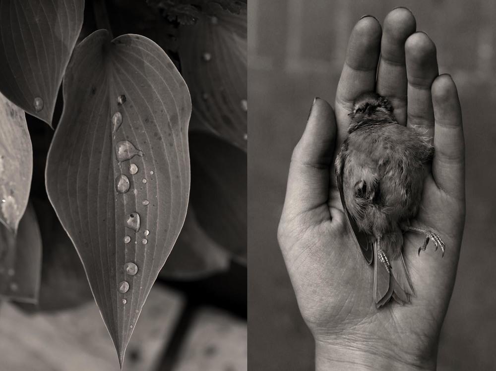 Hosta + Dead Robin