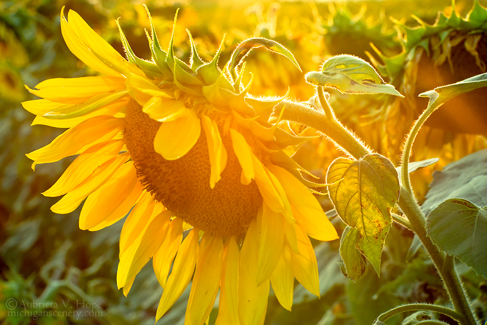 MI14-0574-6163 Sunlit Sunflower by Aubrieta V Hope Michigan Scenery.jpg