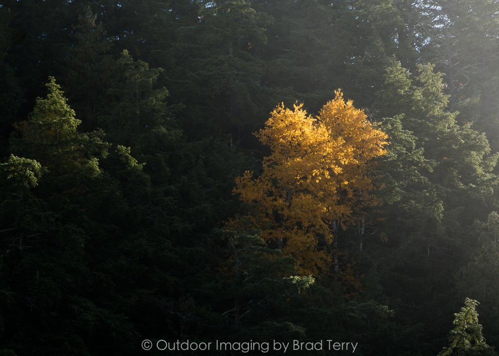 fall_birchwm.jpg