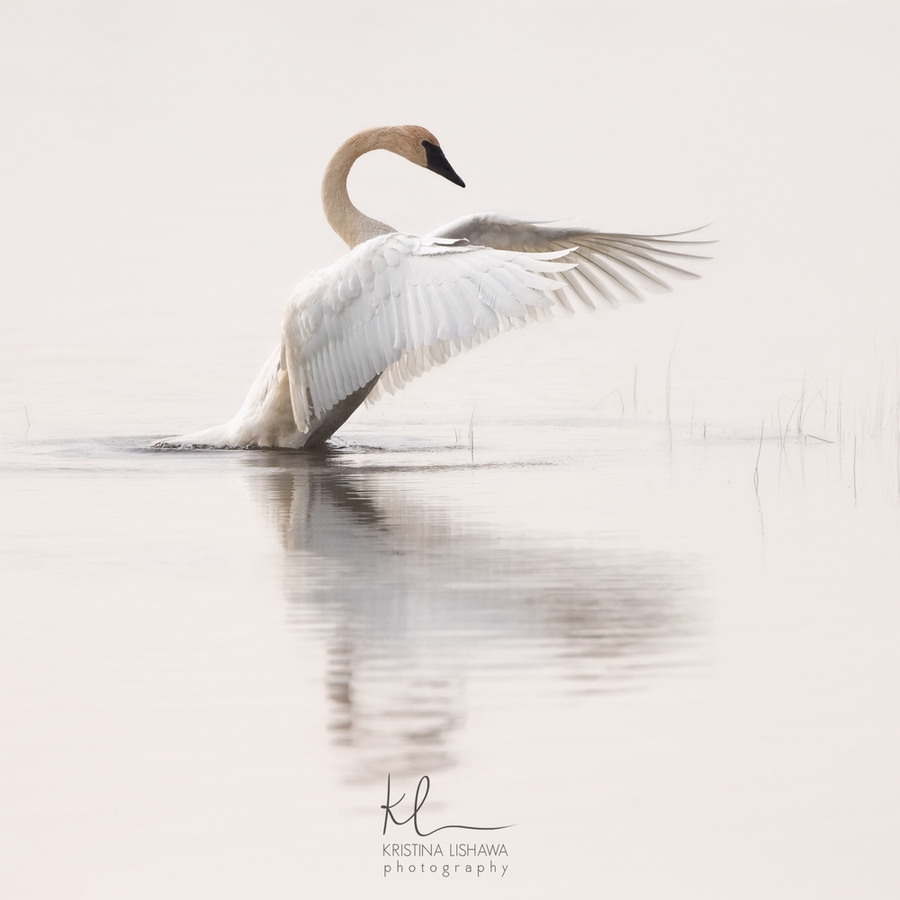 Dance Of The Trumpeter Swan