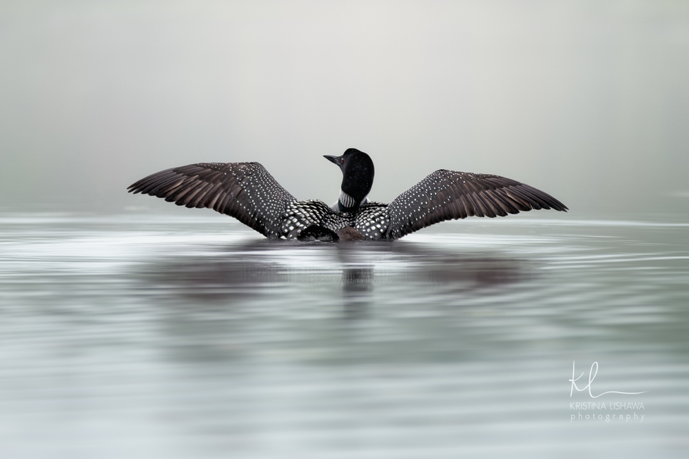 Graceful Loon.jpg
