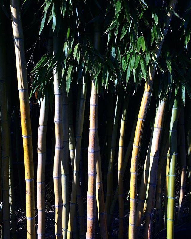 bamboo grove nostalgia