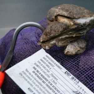 Louisiana Oysters