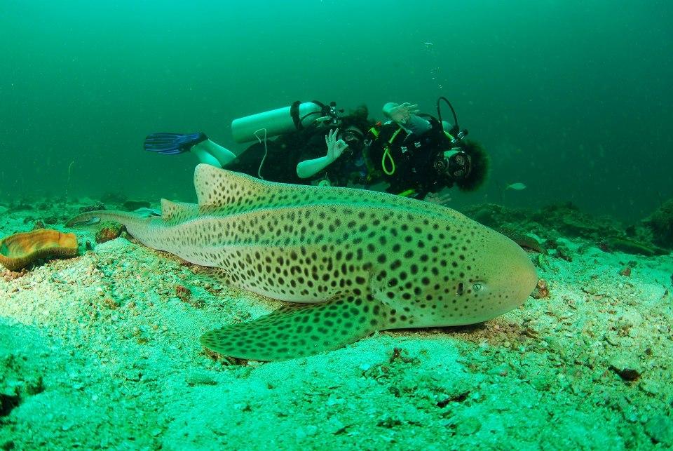 Reef Shark, Adaman Sea, Thailand