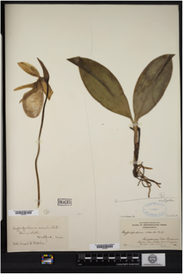 Herbarium record of the common New England orchid, Pink lady's-slipper (Cypripedium acaule).