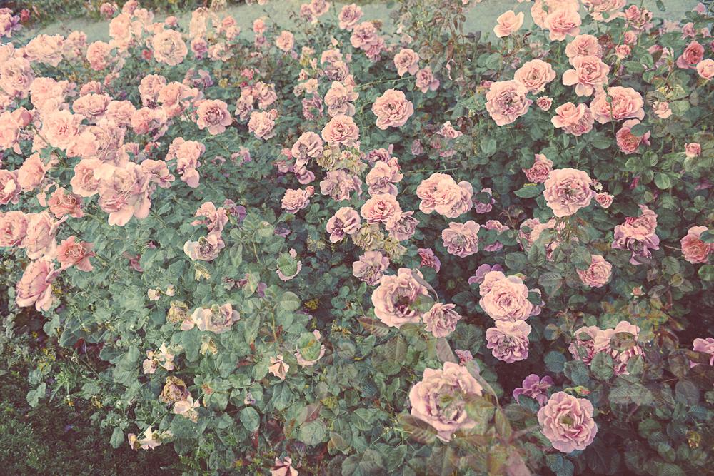 Roses_foto_Mankica_Kranjec.jpg