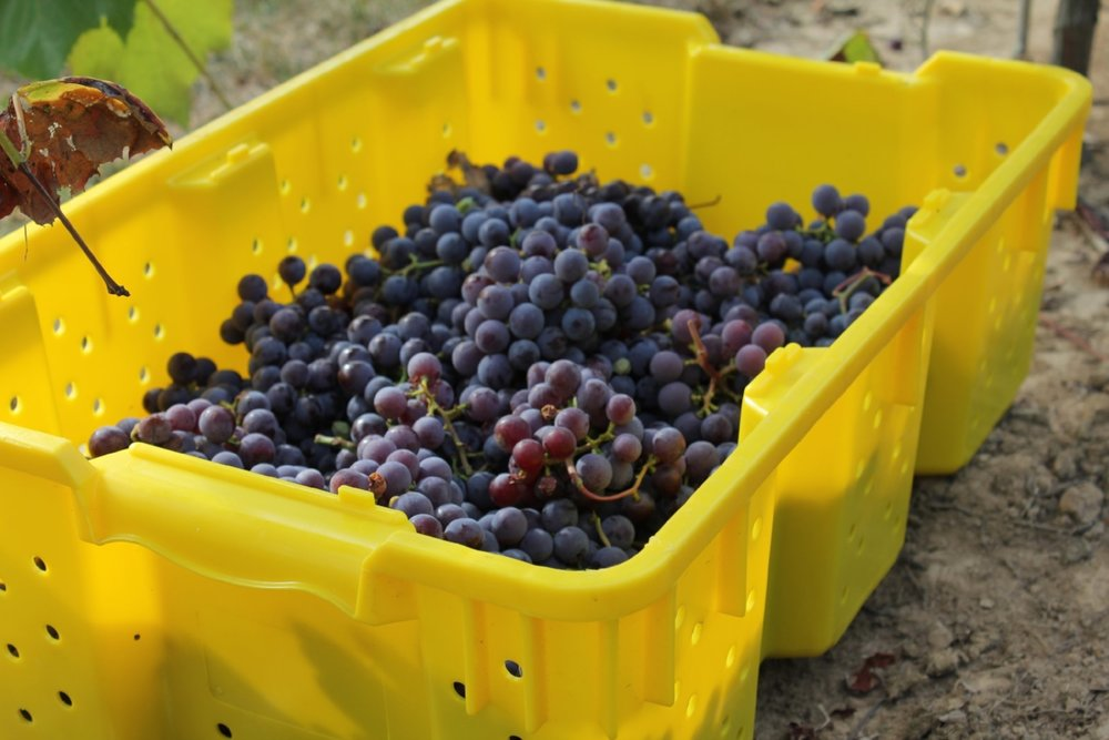 Catawba-Harvest-Bin.JPG