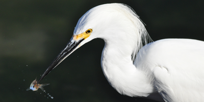 EagleImages.mx Club House Egret.png