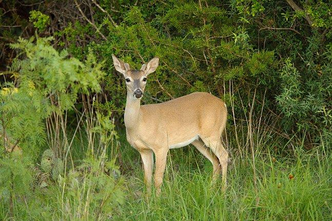 Deer Sights on the Hiking Trail System at Trails of Horseshoe Bay