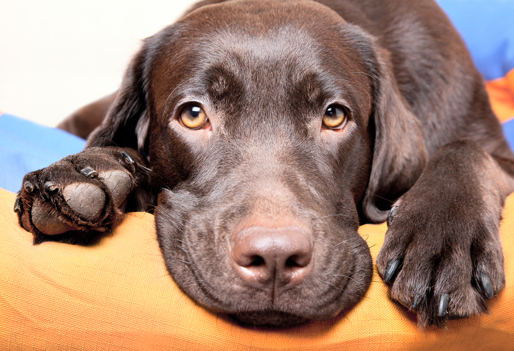 bigstock-Chocolate-Labrador-Retriever-D-51773668 - Copy.jpg