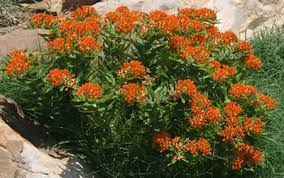 and butterfly weed (Asclepias tuberosa)