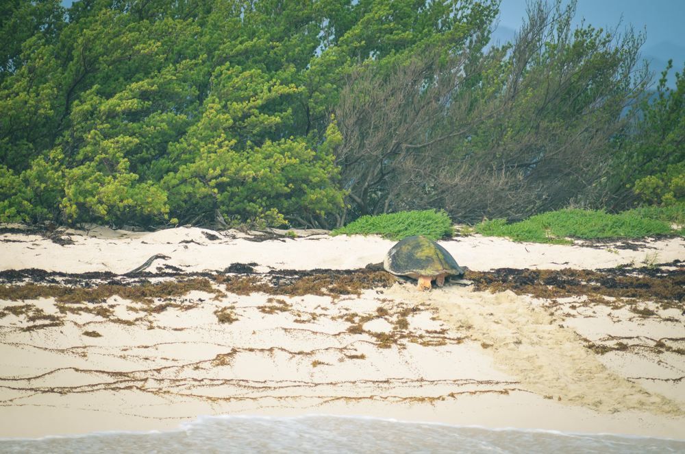 Leatherback turtle laying her eggs on Petite Tabac, Tobago Cays, SVG