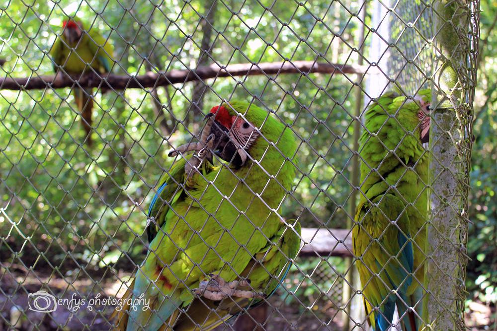 Military Macaw ARCAS - Flores, Guatemala